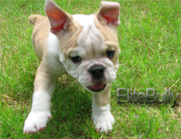 Jumping Happy English Bulldog